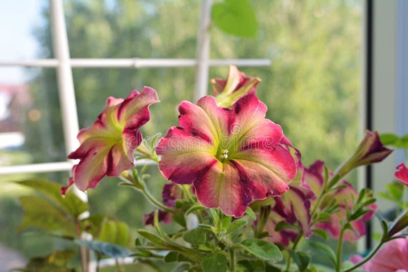 Fleurs colorées lumineuses de pétunia Balcon faisant du jardinage avec les usines de floraison d'été images stock