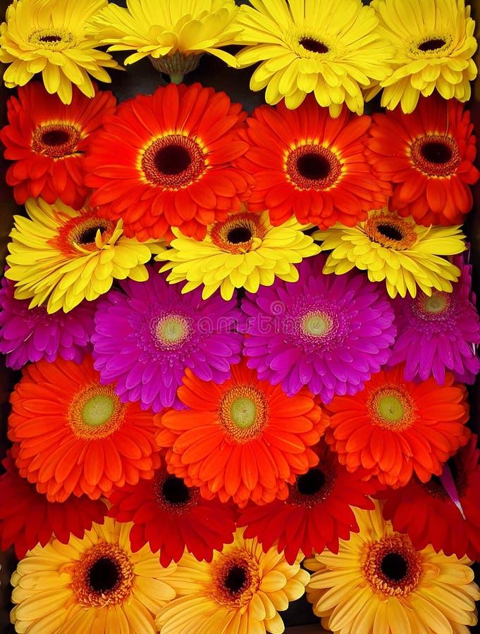 Fleurs colorées mélangées de marguerite de gerbera photographie stock libre de droits