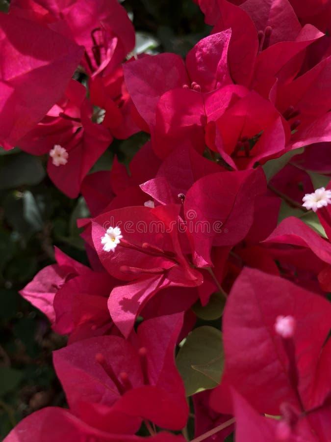 Fleurs colorées profondes avec un plan rapproché des bourgeons blancs photos libres de droits