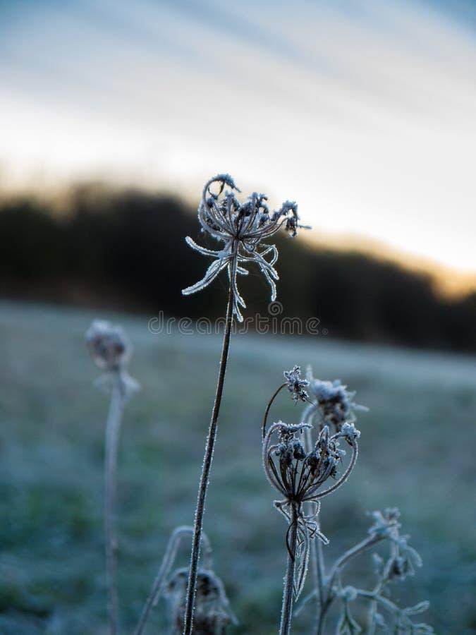 Fleurs congelées avec le lever de soleil à l'arrière-plan photo stock