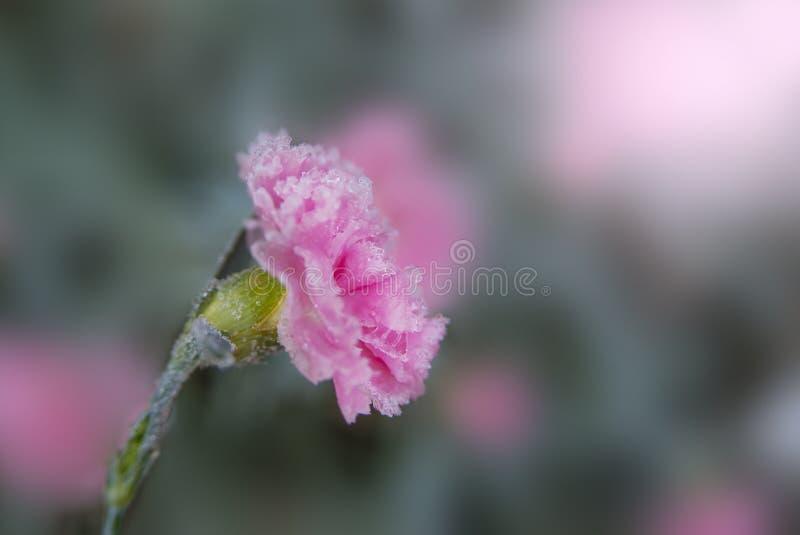 Fleurs congelées d'oeillets dans le jardin en novembre image stock