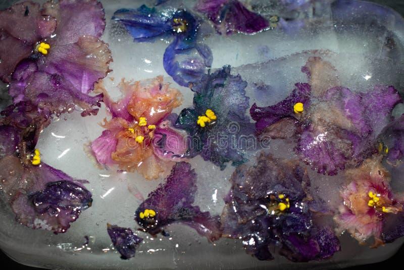 Fleurs congelées dans les violettes de glace Lilas, rose, multicolore photo stock