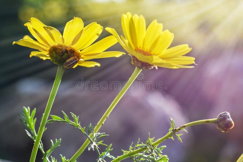 Fleurs contre le ciel, marguerites jaunes images libres de droits