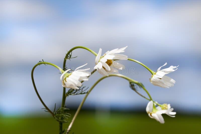 fleurs coudées de camomille image libre de droits