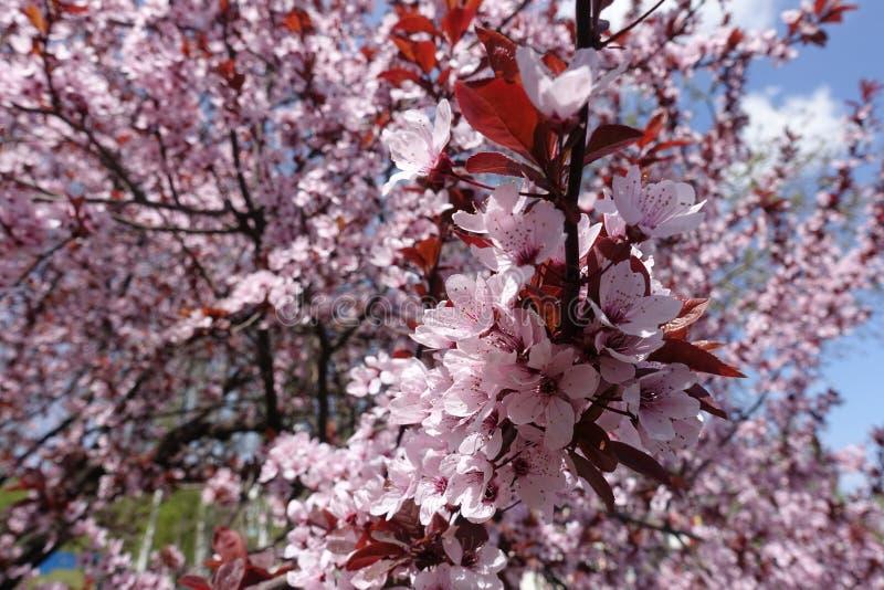Fleurs couvrant la branche du pissardii de Prunus photos libres de droits