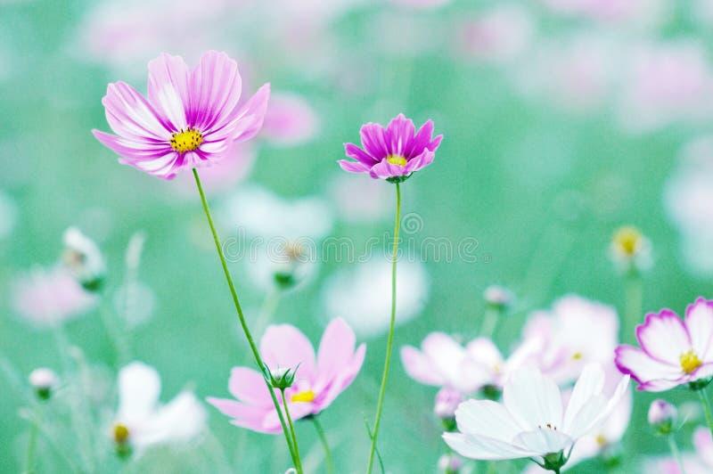 Fleurs croissantes de cosmos image stock
