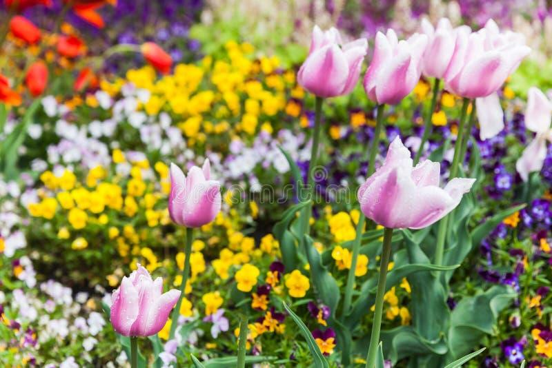 Fleurs décoratives colorées, parterre photographie stock