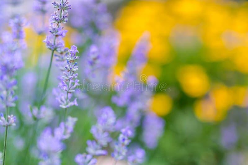 Fleurs d'été dans le jardin Vue de plan rapproché de lavande et de fond jaune brouillé de fleurs images stock