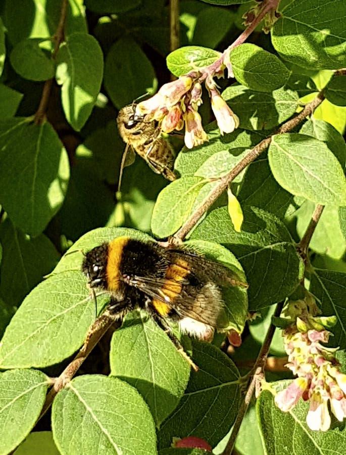Fleurs d'abeille de bourdon image libre de droits
