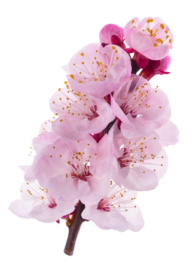 Fleurs d'abricot photographie stock libre de droits