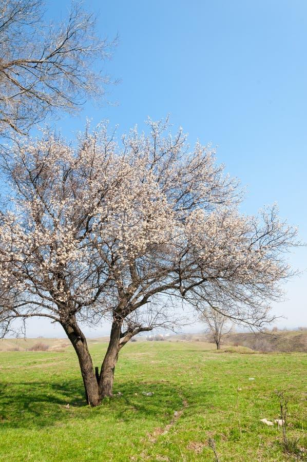 Fleurs d'abricot de ressort images libres de droits