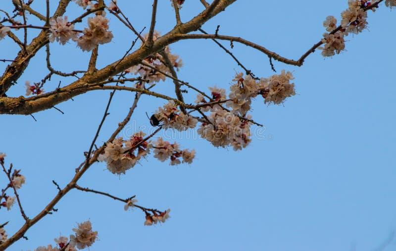 Fleurs d'abricotier, paysage de ressort photographie stock libre de droits