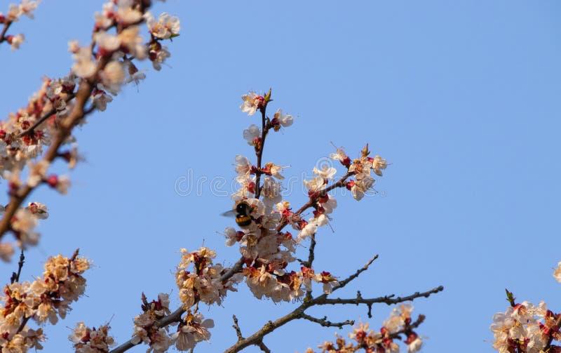 Fleurs d'abricotier, paysage de ressort image stock