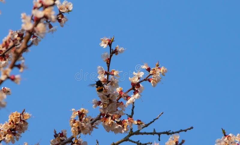 Fleurs d'abricotier, paysage de ressort photo stock