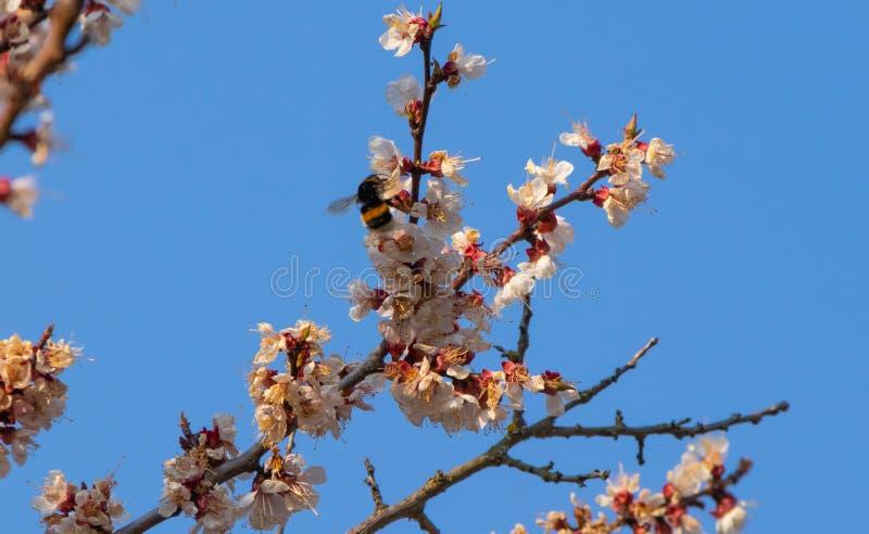 Fleurs d'abricotier, paysage de ressort photos libres de droits