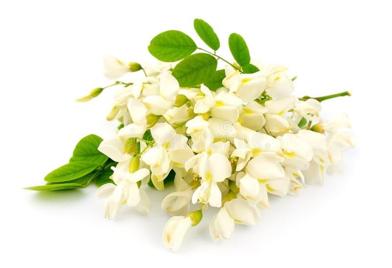 Fleurs d'acacia photographie stock libre de droits