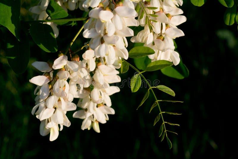 Fleurs d'acacia image stock