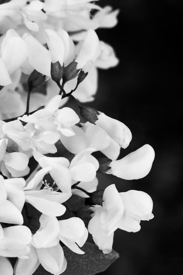Fleurs d'acacia images stock
