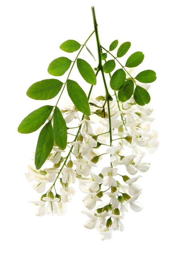 Fleurs d'acacia photo stock