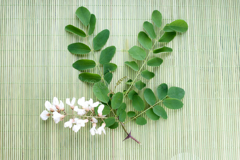 Fleurs d'acacia avec des feuilles images stock
