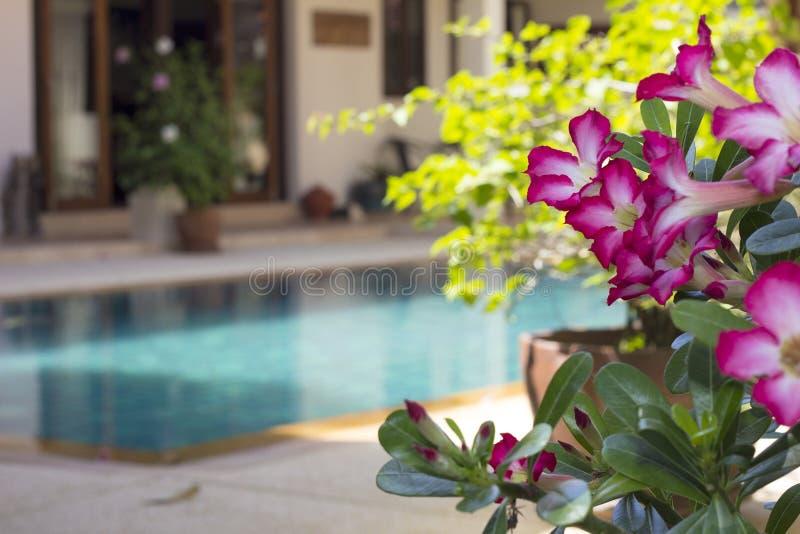 Fleurs d'Adenium par la piscine photographie stock libre de droits