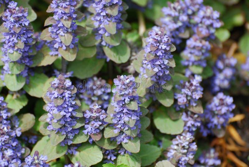 Fleurs d'Ajuga en fleur photographie stock