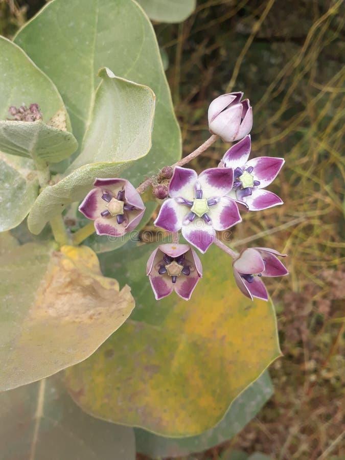 Fleurs d'Akada photographie stock libre de droits