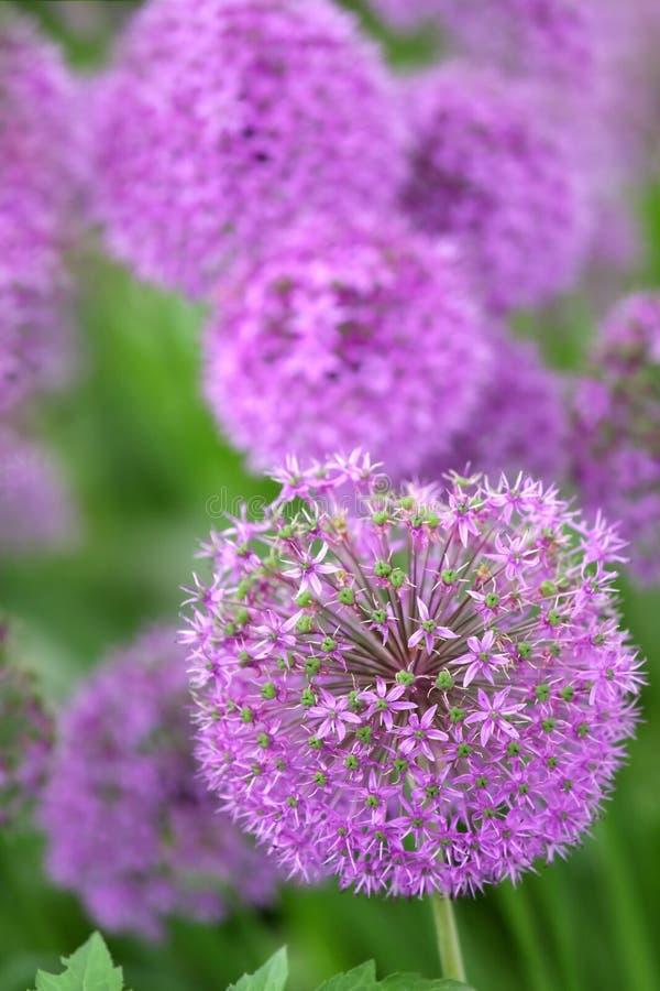 Fleurs d'allium photos stock