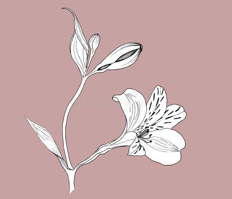 Fleurs d'Alstroemeria sur une brindille, fleurs blanches sur un fond rose poussiéreux, dessin botanique réaliste à la main, encre illustration libre de droits