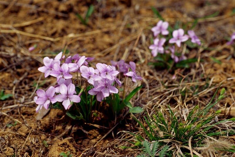 Fleurs d'alto photographie stock