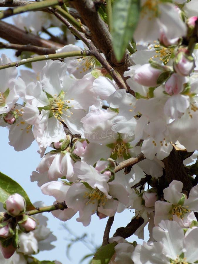 Fleurs d'amande image libre de droits