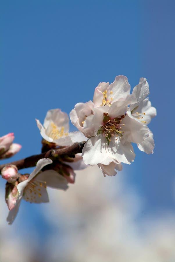 Fleurs d'amande photo stock