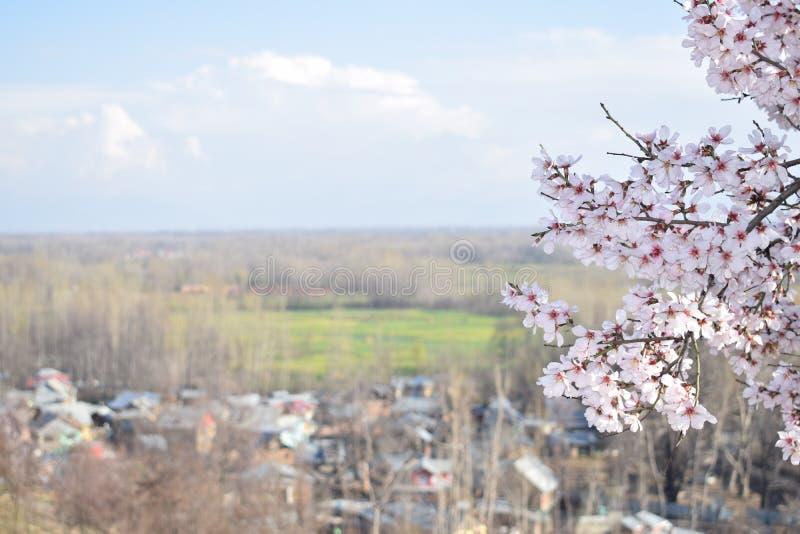 Fleurs d'amande dans Kashmir Valley avec la fleur image stock