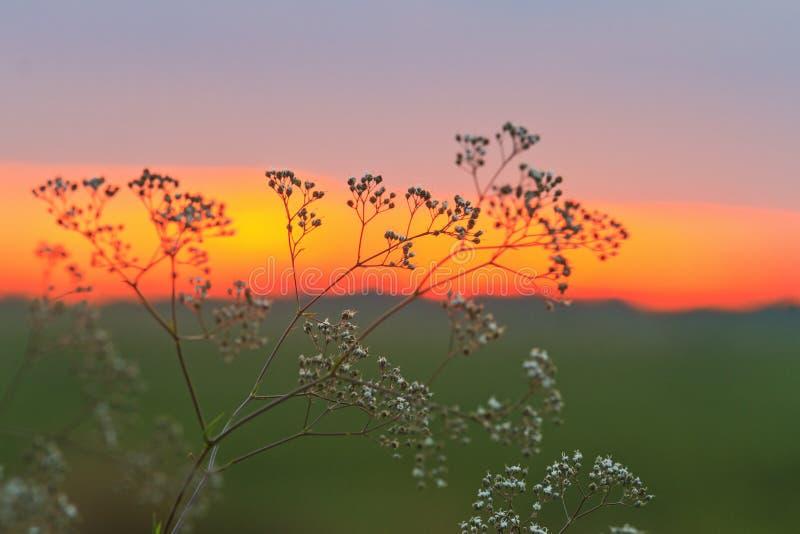 Fleurs d'amarante au coucher du soleil photographie stock libre de droits