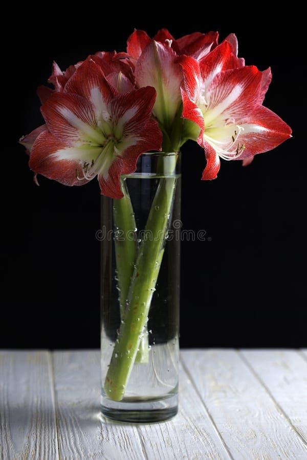 Fleurs d'Amaryllis en pleine floraison montrée à l'intérieur d'un vase en verre moderne images libres de droits