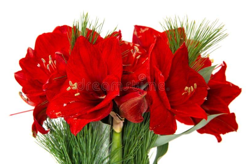 Fleurs d 39 amaryllis no l rouge fleurit le bouquet photo for Fleurs amaryllis bouquet