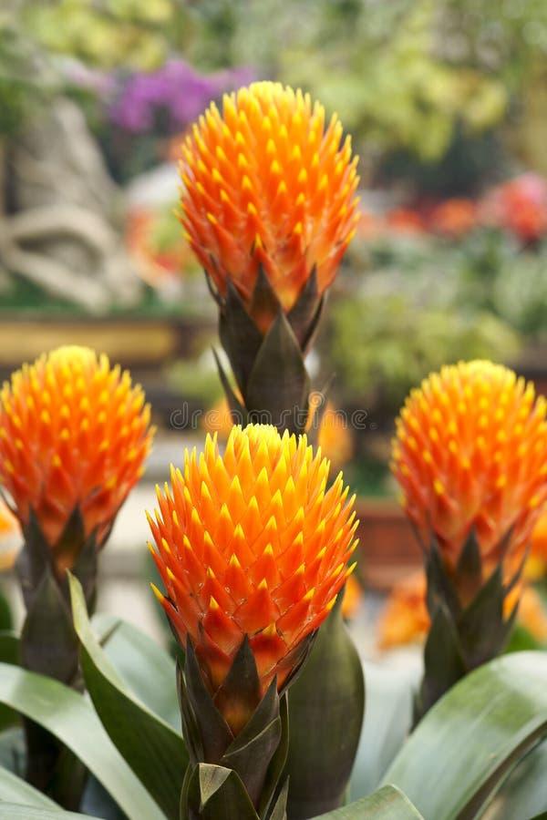 Fleurs d'ananas image libre de droits