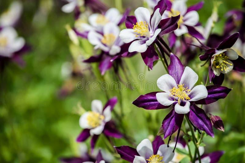 Fleurs d'ancolie photo stock