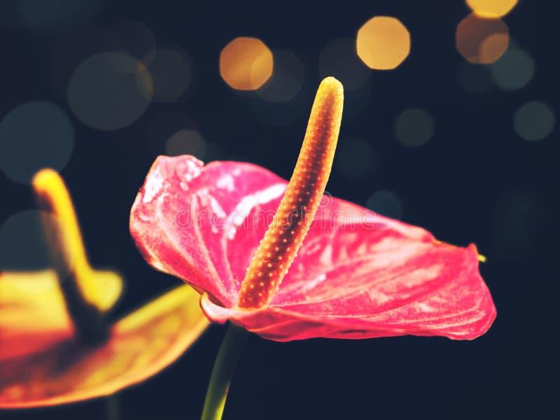 Fleurs d'anthure de beauté image libre de droits