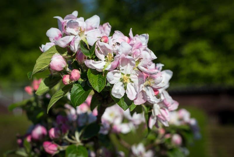 Fleurs d'Apple photos libres de droits