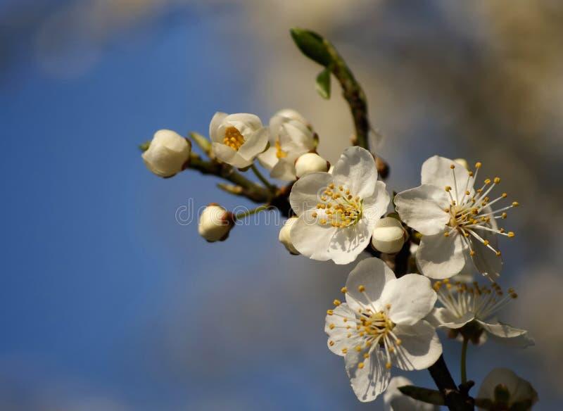 Fleurs d'Apple photographie stock libre de droits