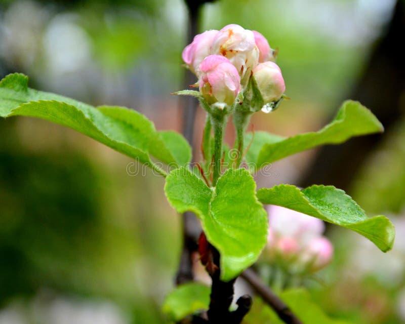 Fleurs d'Apple Fleurs gentilles dans le jardin dans le milieu de l'?t?, dans un jour ensoleill? Horizontal vert photo stock