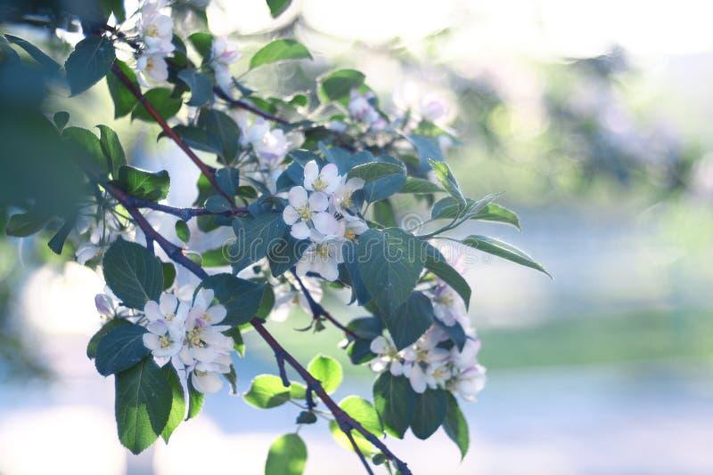 Fleurs d'Apple sur des fleurs d'une pomme de branche photos stock