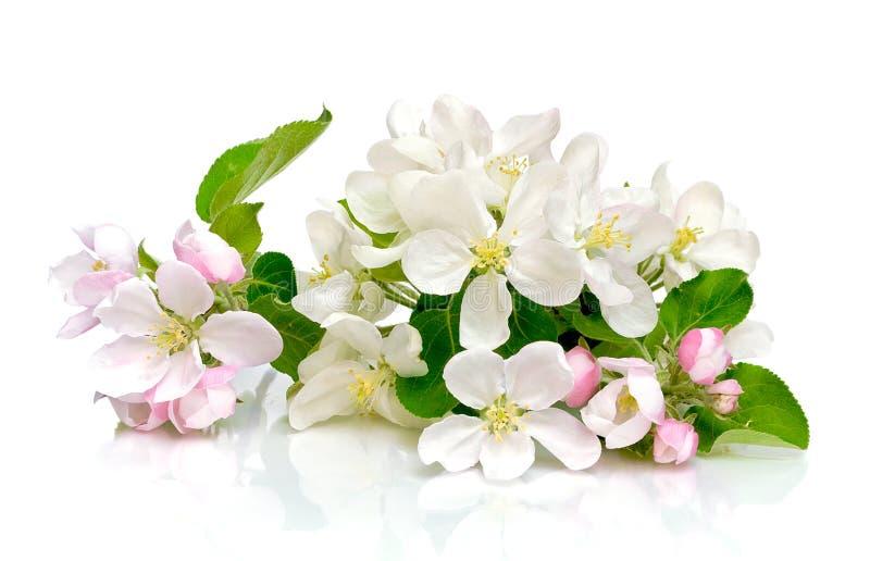 Fleurs d'Apple sur un fond blanc photos libres de droits