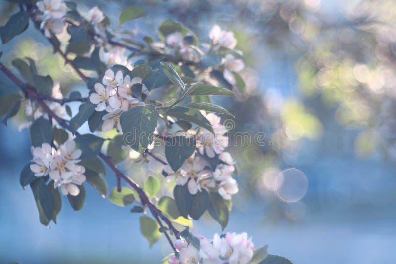 Fleurs d'Apple sur une branche photographie stock libre de droits