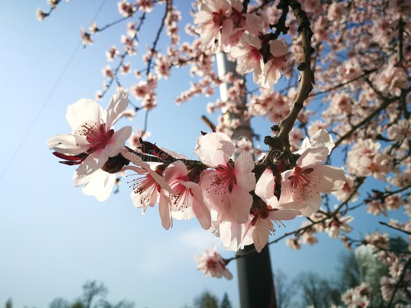 Fleurs d'arbre image libre de droits