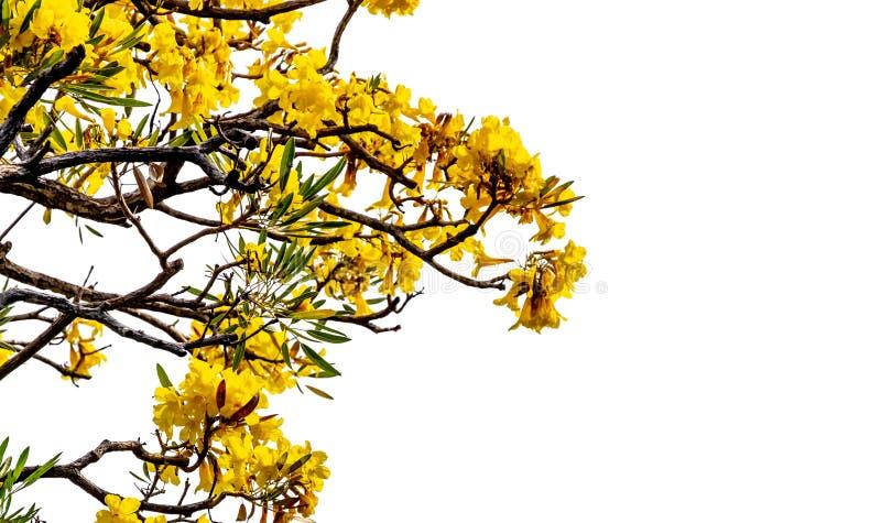 Fleurs d'arbre d'aurea de Tabebuia ou d'arbre de trompette : d'isolement sur le fond blanc images libres de droits