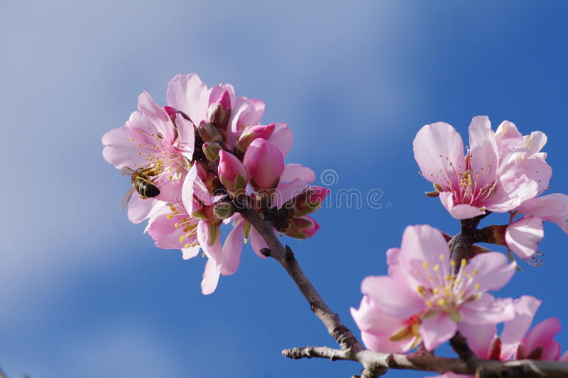 Fleurs d'arbre d'amande photo stock