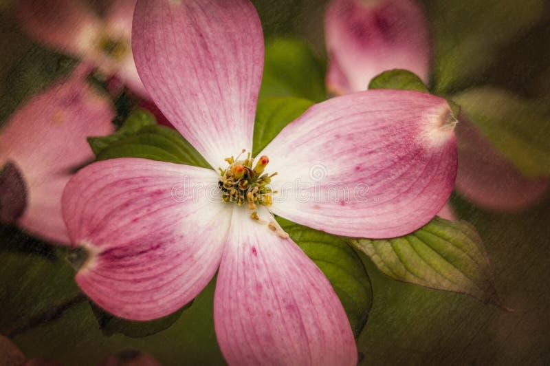 Fleurs d'arbre de cornouiller texturisées image libre de droits