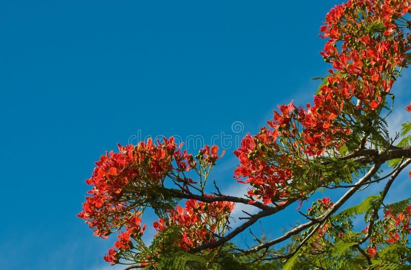 Fleurs d'arbre de flamme images libres de droits